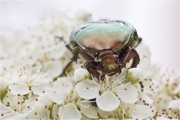 Pelidnota cyanipes