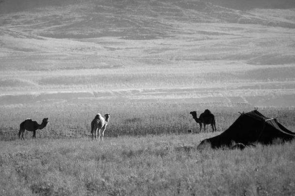 jaima y camellos