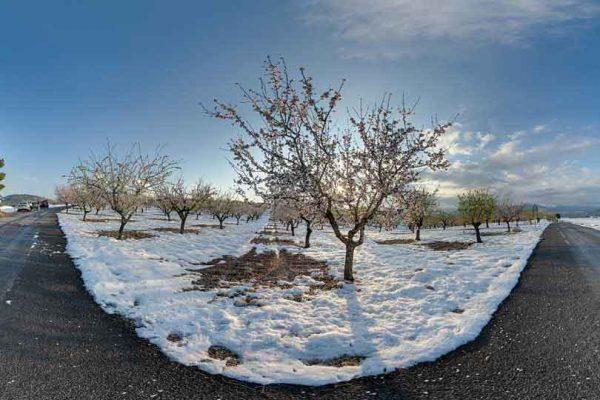 Nevada y almendros en flor